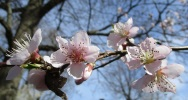 more-peach-flowers