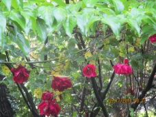 dogwood leaves and roses