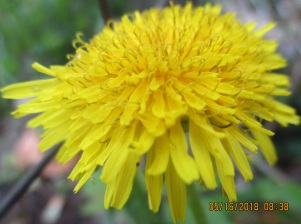 such tiny tendrals on dandelions