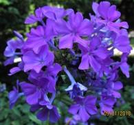 a posey of purple flox