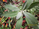 sage one leaf with boiled water in tea cup aids memory traditionally
