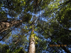 tall pines have best energy