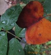 tulip tree leaf on rose