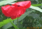 wildflower garden poppy