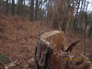 12-12-18 yet another pine cut, fallen and trunk crushed to destroy evidence of killing off trees