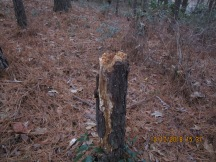 cut pine trunk then crushed to change evidence