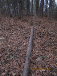 this pine cut at fence line