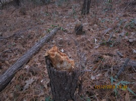 three pines cut and then crushed trunk once fallen 12-12-18