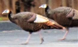 three turkeys on walk today